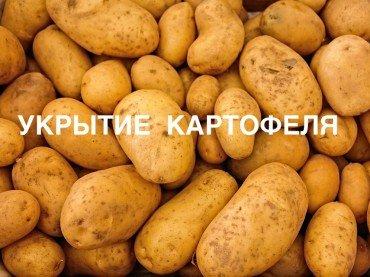 Укрытие картофеля